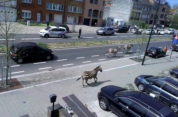 ft377-news_zebras