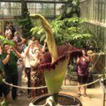 Редкий трупный цветок «Титан Арум» привлек внимание 1300 посетителей